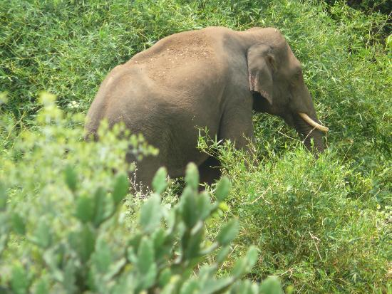 Chinnar Wildlife Sanctuary: The content tusker