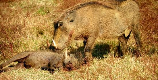 """Jamila Game Lodge: Warthog getting a """"bath"""""""