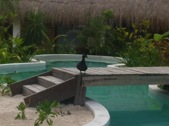 Hotel Cabanas Tulum: Pato by the pool