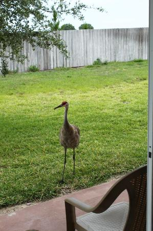 Villas at Regal Palms Resort & Spa: visit from a sand crane