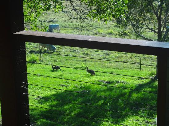 Yandina Station: kangaroos joined us for brekkie