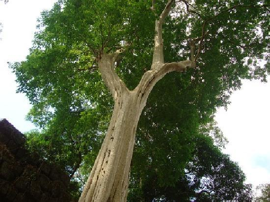 Siem Reap Evergreen Hotel: Big Tree at Koh Ke area