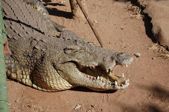 Livingstone Reptile Park: Big croc