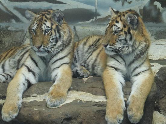 Potter Park Zoo: Tigers