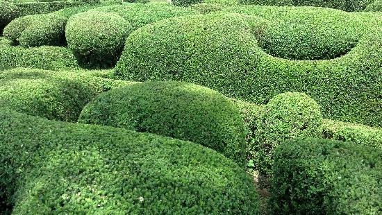 Les Jardins de Marqueyssac : Topiary Texture Closeup