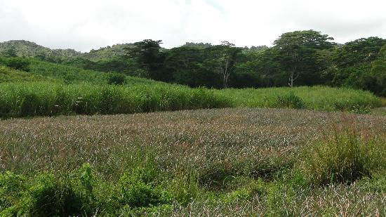 La Vieille Cheminee: les champs d'ananas lors de la ballade à cheval