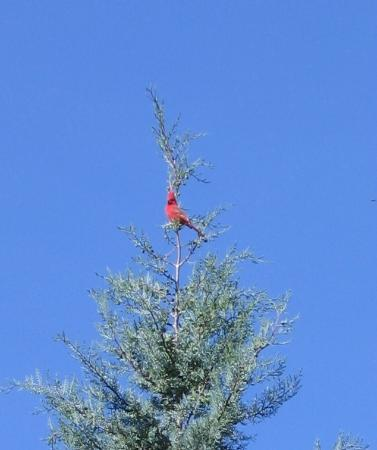 Adobe Village Inn: Red Cardinal perched on top of  backyard tree during breakfast