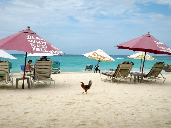 Shoal Bay: Beach chicken strutting around.