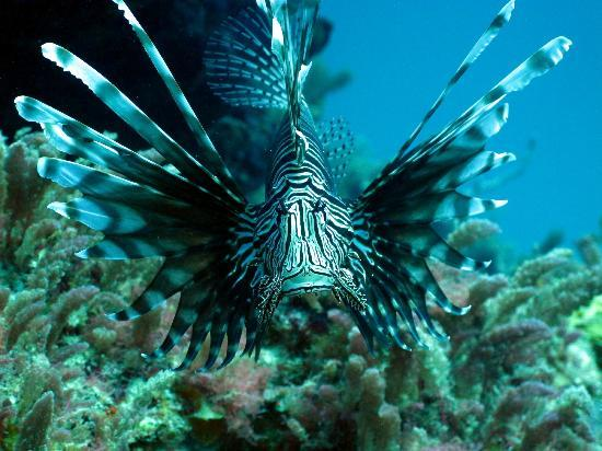 West End Village, Anguilla: Common Lionfish