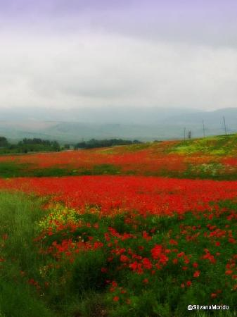 Best Limos in Rome Day Tours : Poppies on the way to Siena