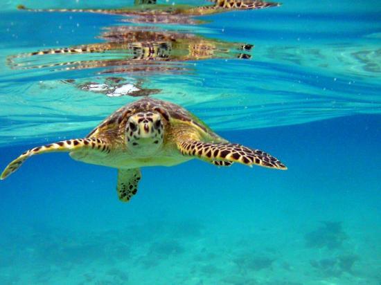 Robinson Club Maldives: Wasserschildkröte beim Schnorcheln