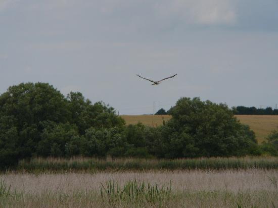 Stodmarsh National Nature Reserve: A marsh harrier at Stodmarsh