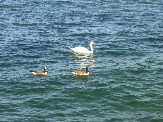 Mississauga, Canada: Swan and loons