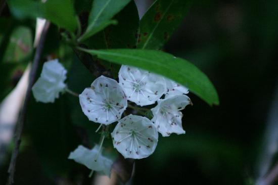 Pigeon Forge Motor Lodge : Mountain Laurel