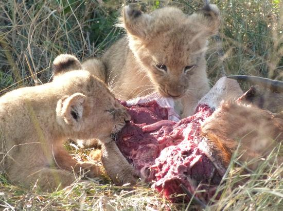 Londolozi Private Game Reserve: lion cubs feeding on meat for the first time