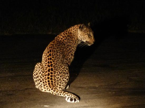 Londolozi Private Game Reserve: night sighting of lepard