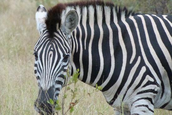 Londolozi Private Game Reserve: zebra