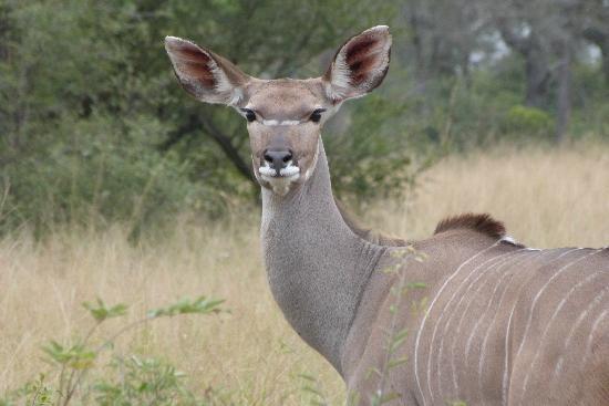 Londolozi Private Game Reserve: female Kudu