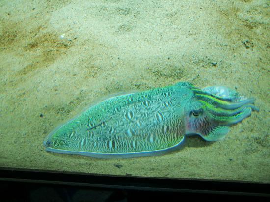 Enoshima Aquarium: 色鮮やかなアオリイカ