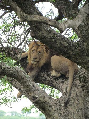 Extreme Nature Tours and Travel Day Tours: Old male lion in a tree in the Hluhluwe-iMfolozi Park
