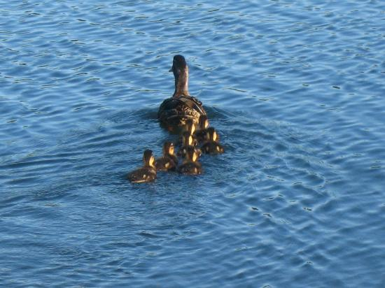 Tamarack & Mirror Lake Resort: Mom and baby ducks in the pond on grounds