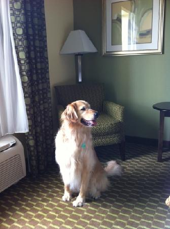 Holiday Inn Express Hotel & Suites Saint Augustine North: Jiffy - our service golden retriever