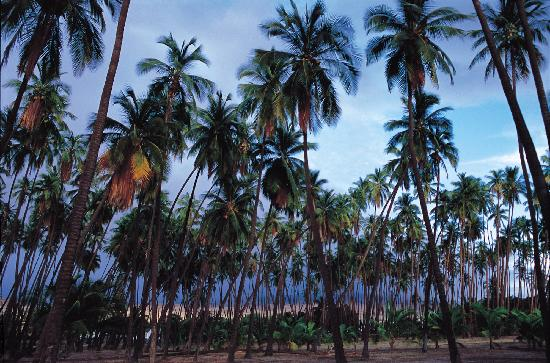 Molokai, HI: Kapuaiwa Coconut Grove/Coconut trees whose feather-like leaves make sounds as they sway in the o