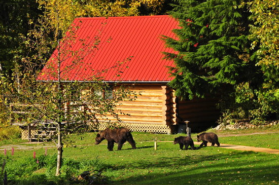 Bears on the lawn at Tweedsmuir Park Lodge. Photo: Mike Wigle