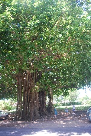 Dominica Botanic Gardens: A bearded tree, with large hanging roots