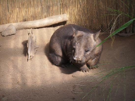 Down Under Tours - Day Tours: A Wombat at the Rainforestation Wildlife Park