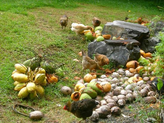 Ridge to Reef Farm at VISFI: Free range chickens