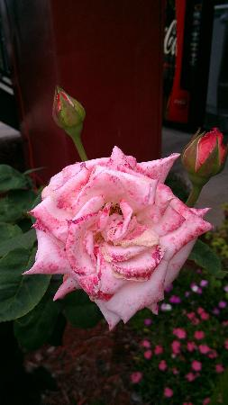 Budget Host Inn : Beautiful roses out front