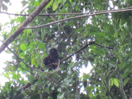 Casas La Selvatica: howler monkey in yard