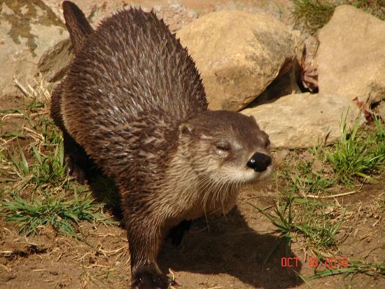 Blue Ridge Parkway : Otter at Habitat at Grandfather Mountain