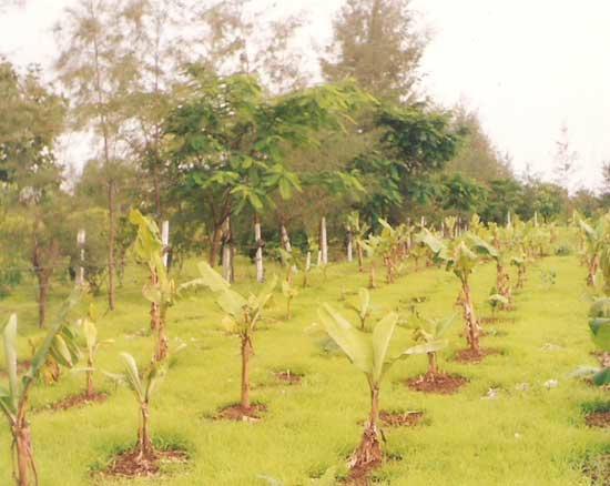 Harshgiri Lake Resort: Banana Plantations