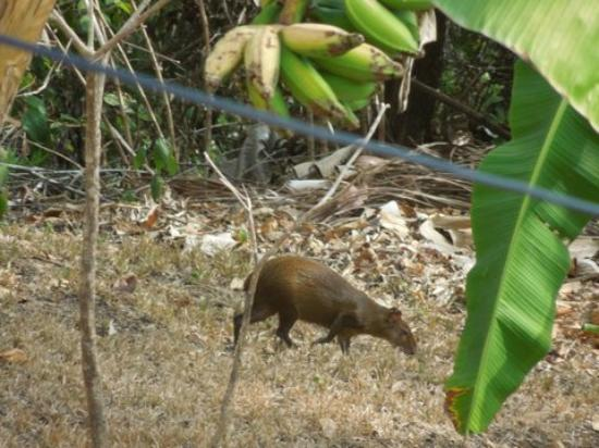 Agua Vista : Agouti Below Banana Tree