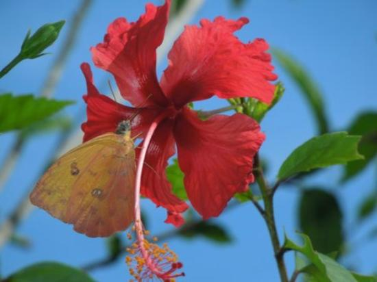 Agua Vista: Hibiscus Outsie Cariblanco