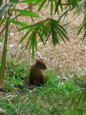 Agua Vista: Agouti Outside Cariblanco