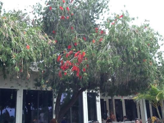 Club Med Sandpiper Bay: bottle brush trees next to restaurant