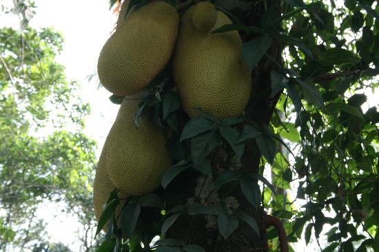 Rainbow Holiday Home: Jack fruit tree