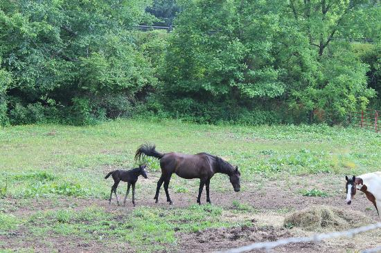 Henson Cove Place B&B: Week old colt and her mama in the pasture across the street