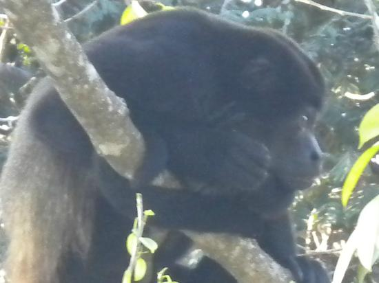 Hotel Belvedere - Playa Samara: Mono congo en los arboles del hotel