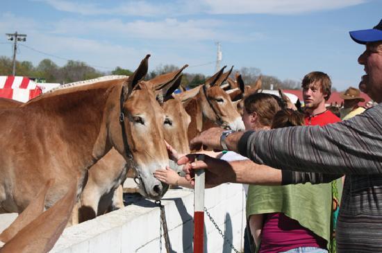 Columbia, TN: Petting mules at Mule Day
