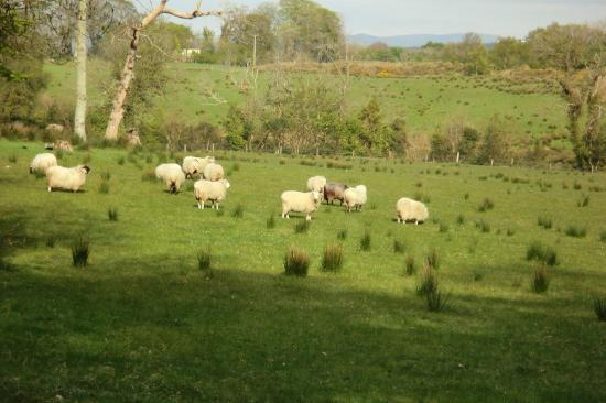 Castle Grove Country House Hotel: Castle Grove sheep