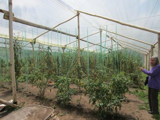 Ali Shungu Mountaintop Lodge: Greenhouse full of tomatoes.