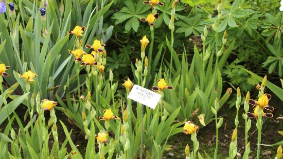 Schreiner's Iris Gardens: Mini Bumblebee Iris