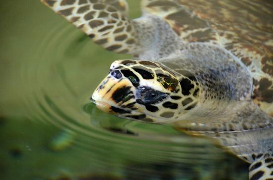 Kula Wild Adventure Park: Feed the Hawksbill Turtles