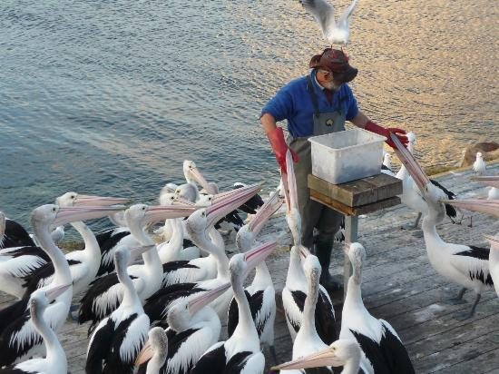 Kangaroo Island Penguin Centre : The pelican is so hungry that it wants to gulp the hand!