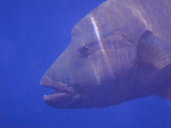 Rixos Sharm El Sheikh : Am Hausriff trafen wir auf einen Napoleonsfisch