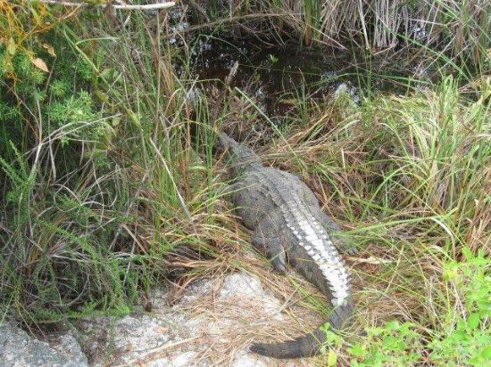 El Torreon Nursery: The resident crocodile